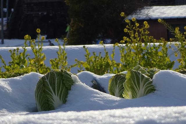 肥料と害虫対策が必要な白菜